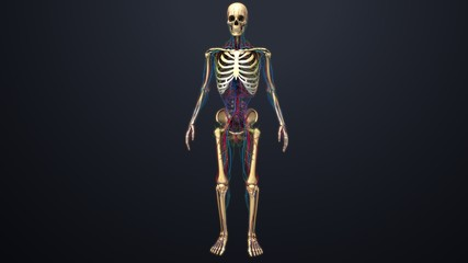 Human Skeleton with blood vessels, nerves, arteries and veins