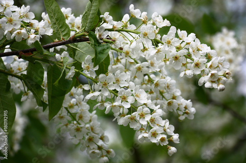 Bird cherrysmall white flowers of a fragrant bird cherry are small white flowers of a fragrant bird cherry are covered by water mightylinksfo