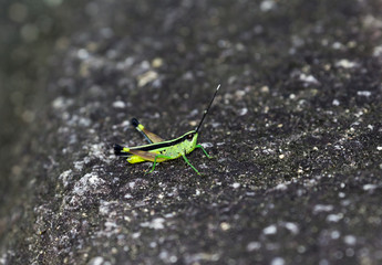 The image of the Green Grasshopper in Thailand.(Sugarcane white tipped locust) Ceracris fasciata.
