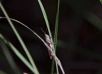 Thailand white grasshopper in natural forest ,white- banded grasshopper,stenocatantops splendens