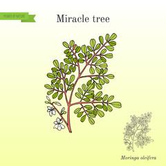 Miracle tree Moringa oleifera , medicinal plant