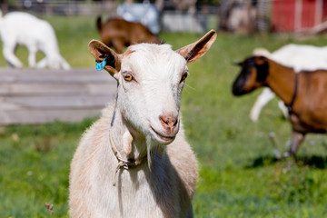 Head shot of white female goat standing in paddock