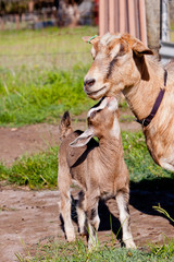 Beige and Brown Baby Kid Goat with mother doe Goat