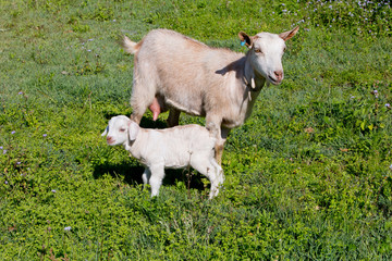 White Young kid goat with dam mother standing in grassy paddock