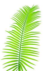 feuille de palmier sagoutier, fond blanc