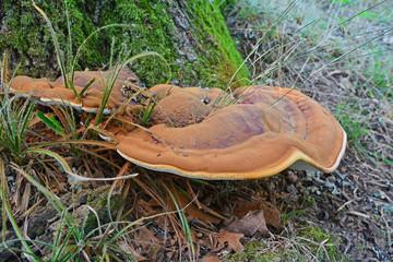 ganoderma resinaceum fungus