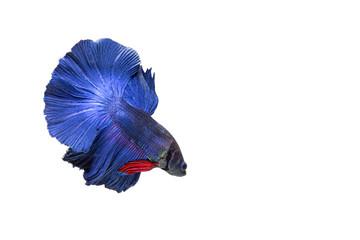Fighting betta fish
