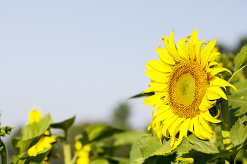 Sunflower field landscape. Sunflowers close up