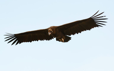 Big black vulture in flight