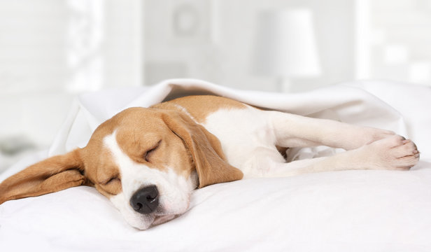 Beagle dog sleeping at home on the bed