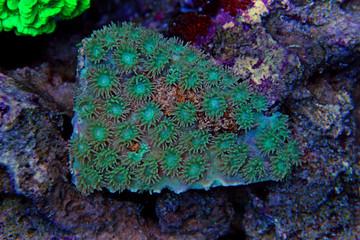 Cup coral in aquarium