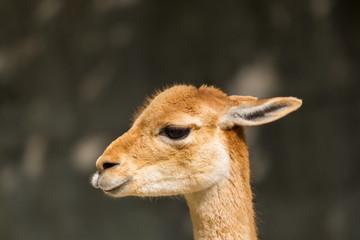 detailed side view guanaco (Lama guanicoe) portrait in sunlight