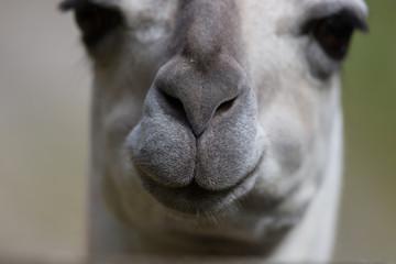 close view of guanako snout (lama guanicoe)