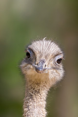 detailed front view portrait ostrich (struthio camelus) in sunlight