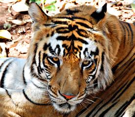 Foto op Canvas Tijger Bengali Tiger