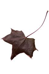 Close-up of maple autumn leaf on white