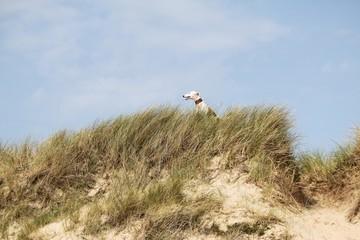 Windhund sitzt auf einer Düne an der Nordsee