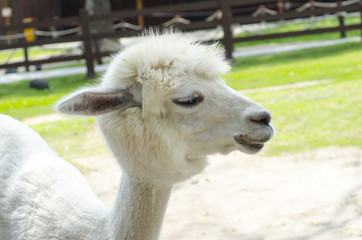 Close Up of White Alpaca in zoo.