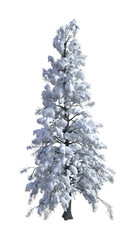 3D Rendering Spruce under Snow on White