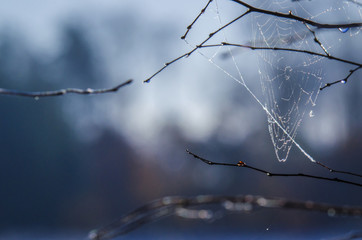 SPIDER WEB - Construction on the branches of a tree