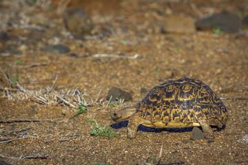 Leopard tortoise  in Kruger National park, South Africa
