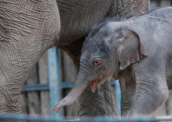 Two-day old baby Asiatic elephant walks with his mother Angele in the Budapest Zoo