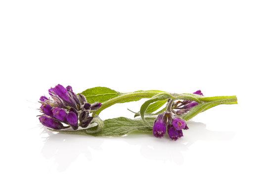 Healthy Comfrey flower.