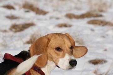 Beagle im Schnee mit Textfreiraum