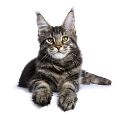Black tabby maine coon cat kitten laying facing front isolated on white background