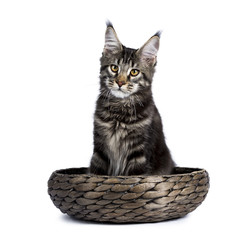 Black tabby maine coon cat kitten sitting in a basket isolated on white background