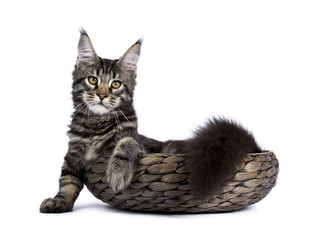 Black tabby maine coon cat kitten laying in a basket isolated on white background