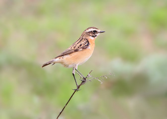 Close up portrait of  female whinchat (Saxicola rubetra) in breeding plumage isolated on blurry green background