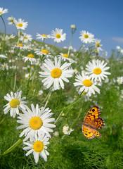 Sommer im Margeritenfeld