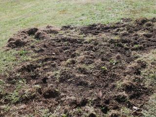 dégâts sangliers pelouse