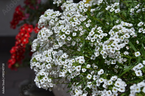 Balkonblumen Weiss Und Rot Stockfotos Und Lizenzfreie Bilder Auf
