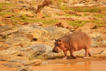Hippo on the bank of the river in Africa