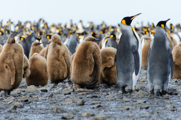 King penguin chicks