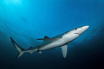 blue shark, prionace glauca, South Africa