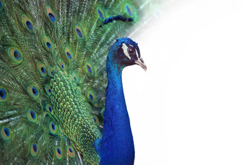 Portrait of Peacock