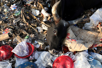 A cow lies on a pile of waste in a rubbish dump on the outskirts of the town of Lamu