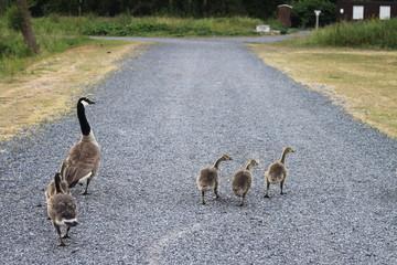 Famille oies