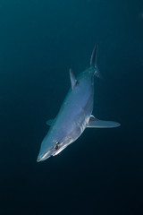 mako shark, Isurus paucus, South Africa