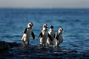 African penguin, spheniscus demersus, South Africa