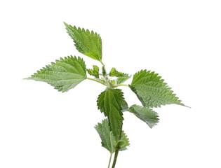 Stinging nettle leaf, isolated on white background