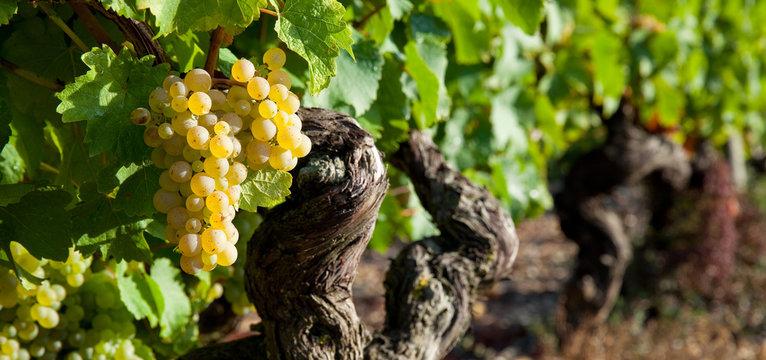 Vignes au soleil avant les vendanges en Anjou