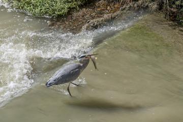 Great grey heron