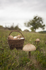 Big parasol mushroom on the grass in cloudy weather with basket full of them.