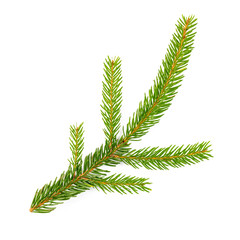 spruce fir on white background