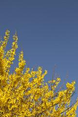 Golden shower flower tree in spring in front of blue sky