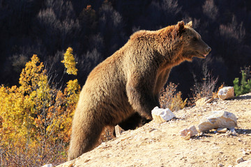 A bear prepares for hibernation at the Four Paws Bear Sanctuary in Pristina